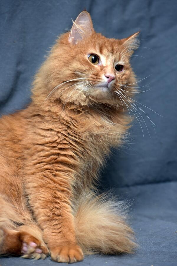 Red fluffy cat on a gray. Background royalty free stock photo