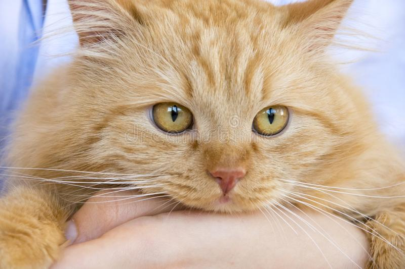 Red fluffy cat muzzle on the master`s hands at the table stock image