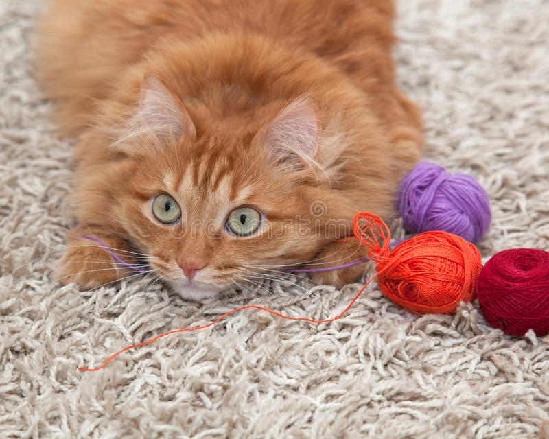 Let's play. Red fluffy cat playing with colored balls of yarn on a carpet royalty free stock photo