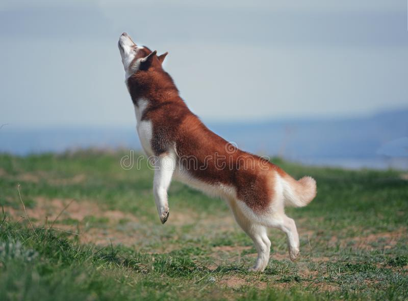 Red dog breed Siberian Husky stock images