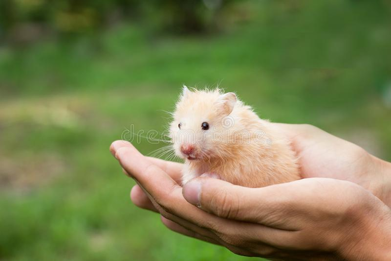 Red fluffy hamster in hand, royalty free stock photography