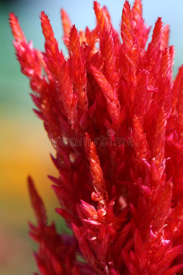 Red Fluffy Plant royalty free stock image