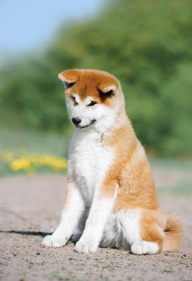 A red fluffy puppy of the Akita Inu breed sits. On the ground. Lovely dog. Dog like a bear stock photo