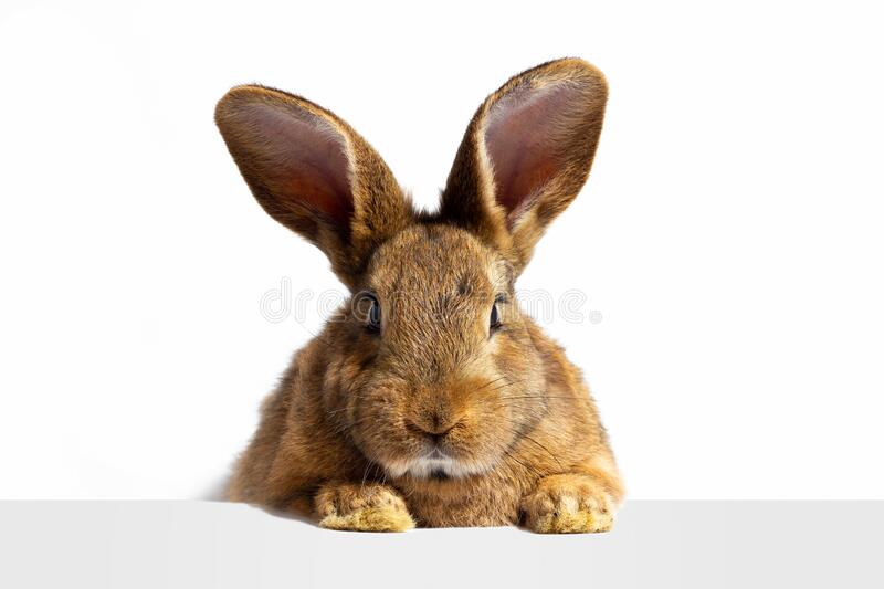 Red fluffy rabbit looks at the sign. Isolated on white background Easter bunny. Red hare for advertising stock image