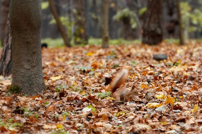 Red fluffy squirrel hides food in the fallen autumn leaves of the park. The red fluffy squirrel is barely noticeable against the background of autumn fallen royalty free stock image