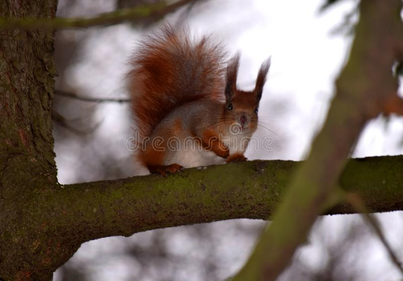 The red and fluffy squirrel sits on a tree with a foot at the chest. Fluffy red squirrel sitting on a tree. Autumn landscape with a squirrel. The squirrel`s stock photography