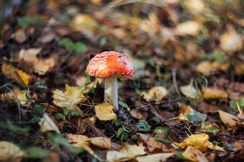 Red fly agaric on a blurred background of yellow autumn leaves close up. Poisonous mushroom, macro. Mushroom with a red hat stock image