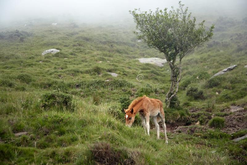 Red foal grazing on a hillside in the fog. Young horse eating green grass in a mountain pasture stock photography