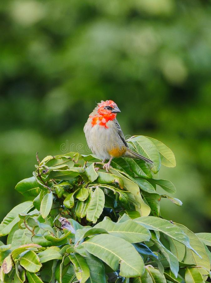 Red Fody bird - Foudia madagascariensis. Red Fody bird in feather color change transition perching stock images