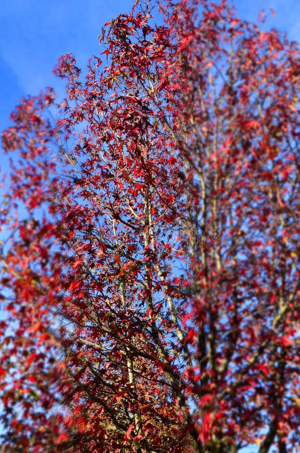 Red foliage against the blue sky, Gramado, Brazil. Red foliage against the blue sky, Gramado, Rio Grande do Sul, Brazil stock photos