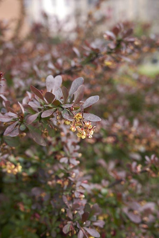 Berberis thunbergii atropurpurea shrub royalty free stock image