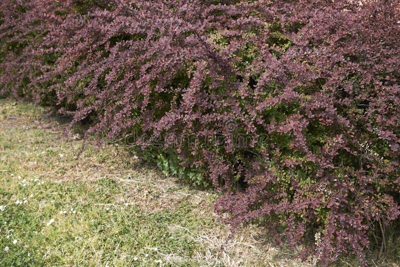 Berberis thunbergii atropurpurea shrub stock image