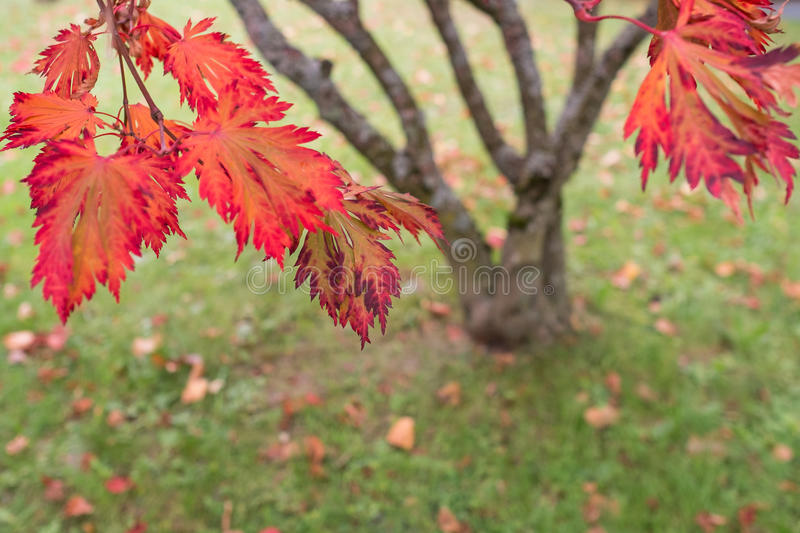 Red foliage of a japanese maple tree (Acer palmatum) royalty free stock photos