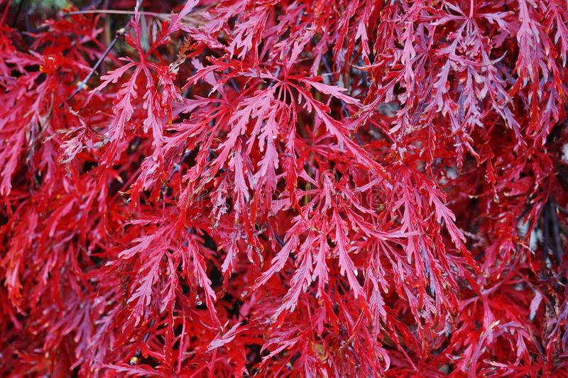 Red foliage of the weeping Laceleaf Japanese Maple tree in autumn stock photography