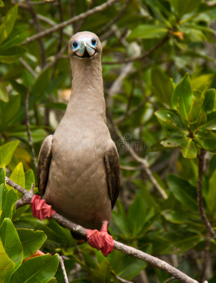 Free Red-footed Boobies Stock Photography - 97434732