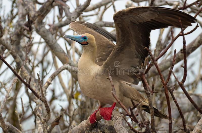 Red Footed Booby Bird on the Galapagos Islands royalty free stock photography