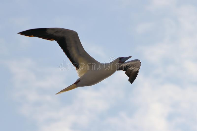 Red-footed Booby Sula sula bird flying on cloudy sky background. Marine bird in natural habitat. North Pacific ocean. Red-footed Booby Sula sula bird flying on stock images