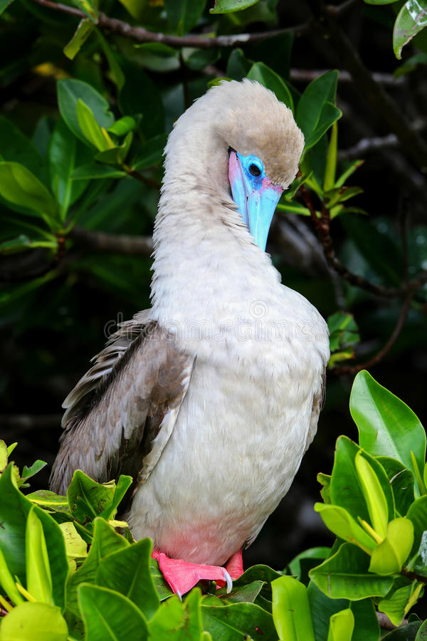 Free Red-footed Booby (Sula Sula) Preening Feathers Stock Images - 75554714