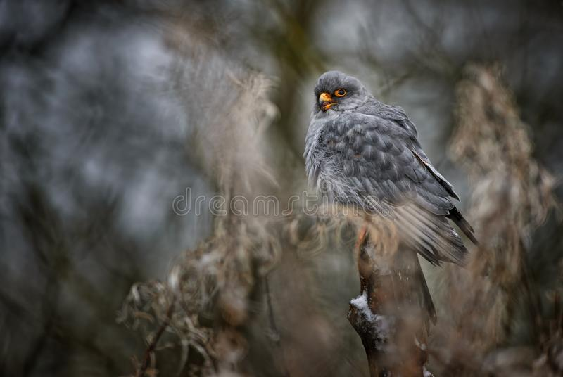 Red-footed Kestrel - Falco vespertinus. Beautiful raptor from frozen European winter forest stock photo