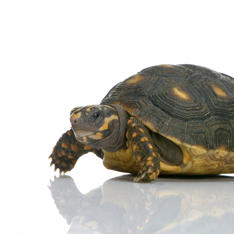 Red-footed Tortoise Royalty Free Stock Image