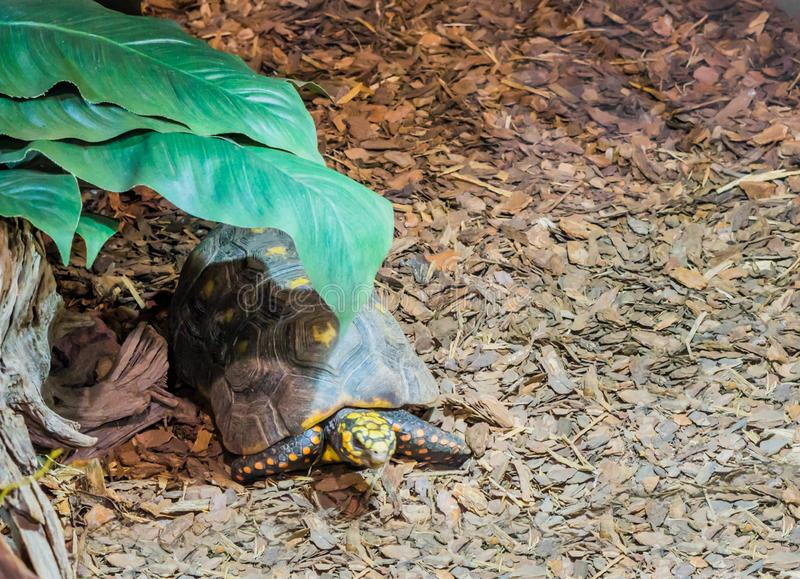 Red footed tortoise laying under a green leaf, tropical threatened turtle specie from America. A red footed tortoise laying under a green leaf, tropical royalty free stock image
