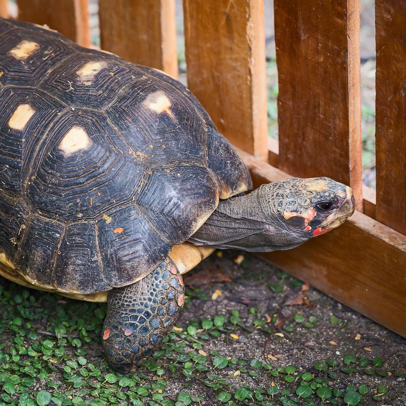 Red footed Tortoise. Crawling in the cage royalty free stock images