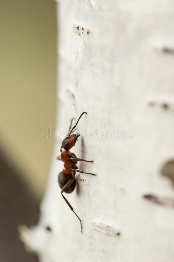 Red forest ant Formica rufa sitting on a birch, on a blurred background. Macro. Close-up stock photos