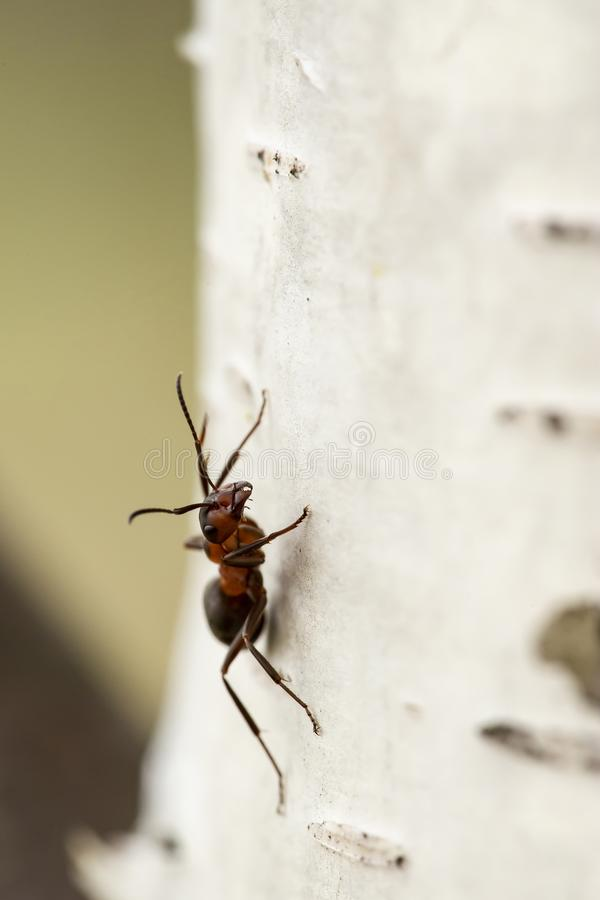 Red forest ant Formica rufa sitting on a birch, on a blurred background. Macro. Close-up royalty free stock photography