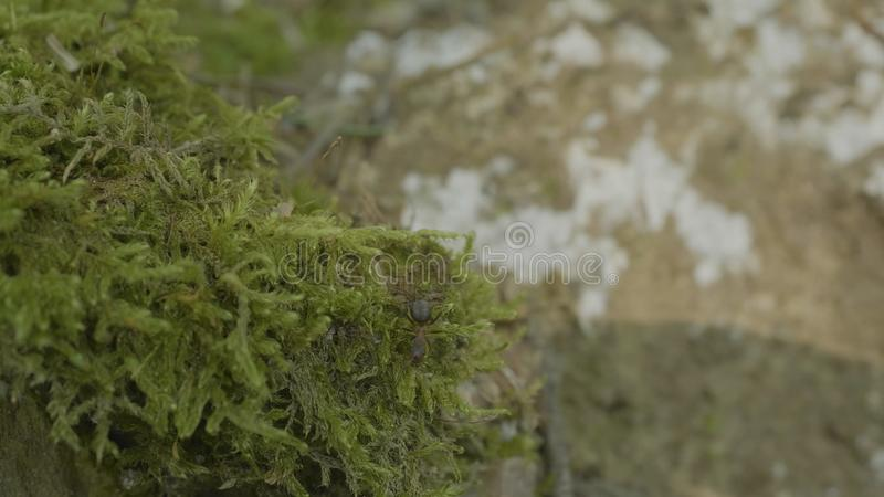 Red forest ant in the green moss. Ants on nature in the forest and green moss royalty free stock photography