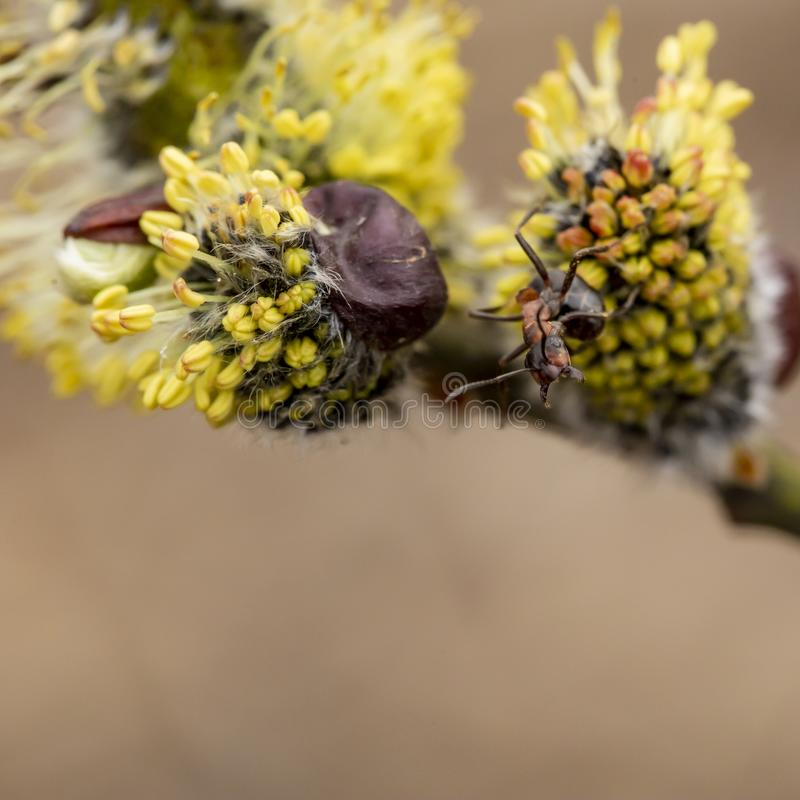 Red forest ants Formica rufa on a fluffy, yellow willow bud, on a blurred background. Macro. Close-up stock photos