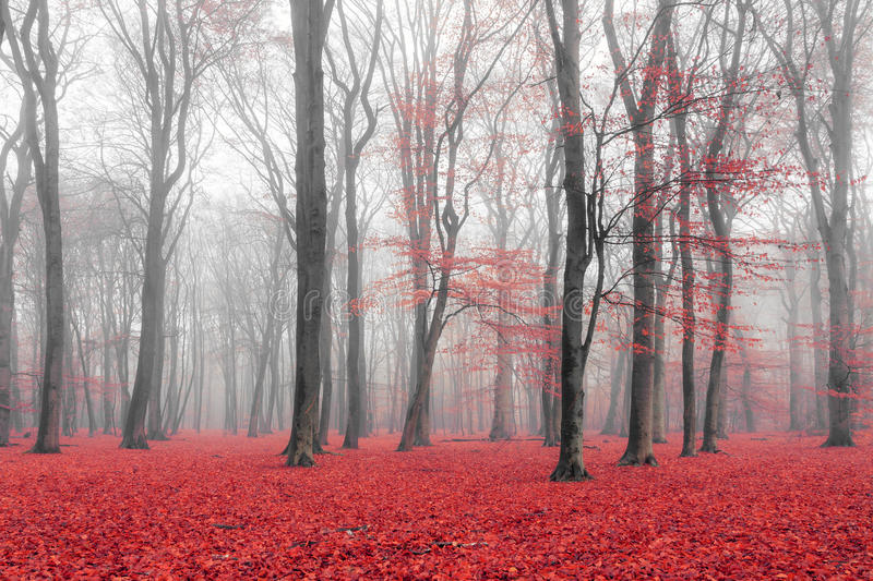 The red forest royalty free stock image