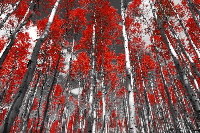 Red forest of fall aspen trees in a black and white Colorado Rocky Mountain landscape royalty free stock image