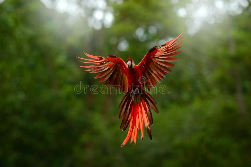 Red in forest. Macaw parrot flying in dark green vegetation with beautiful back light, . Scarlet Macaw, Ara macao, in tropical for. Est, Peru. Wildlife scene royalty free stock photo