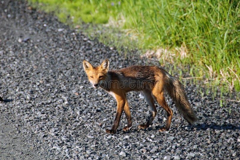 Download Red Fox stock photo. Image of animal, wildlife, furry - 13291848