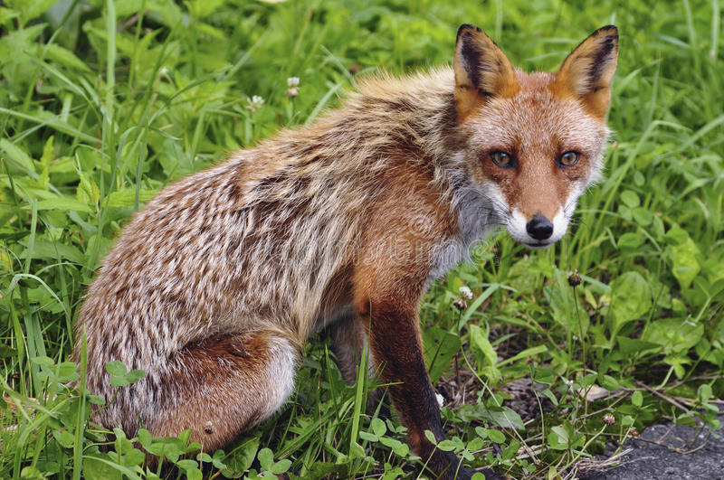 Download Red fox stock photo. Image of hunt, mammal, nature, wild - 22518992