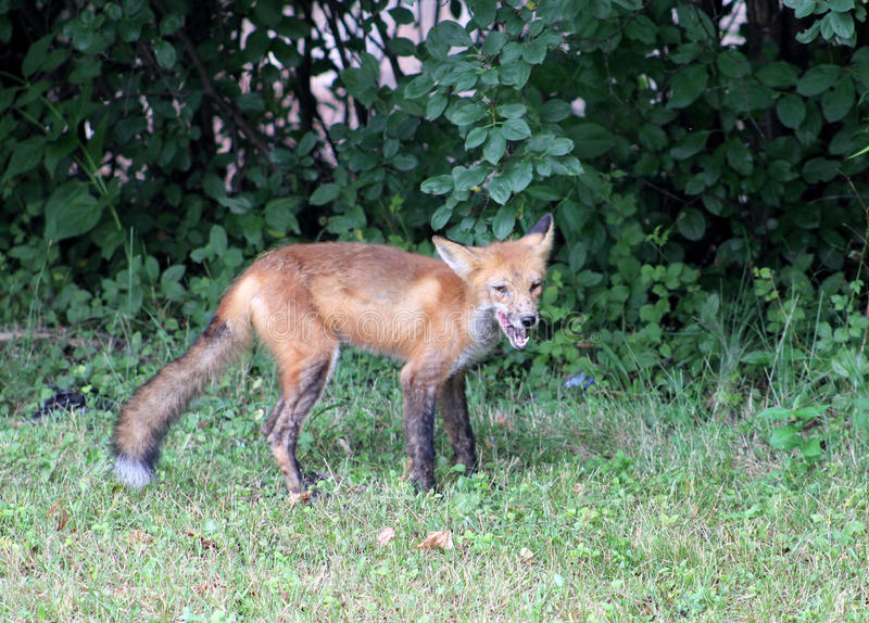 Download Red Fox stock image. Image of forest, fauna, flora, animal - 22825659