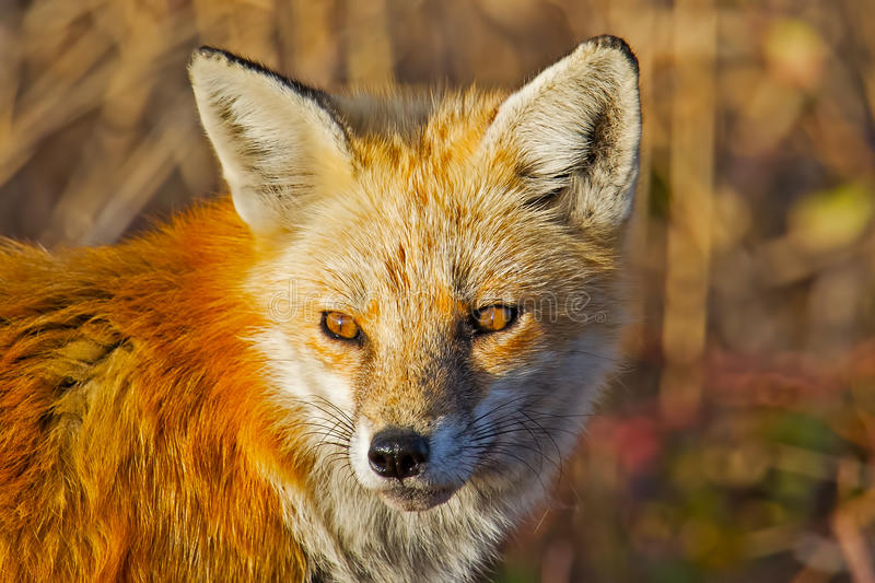 Download Red Fox Stock Photography - Image: 23367492