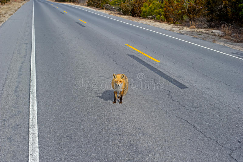 Download Red Fox stock image. Image of rough, vulpes, nature, refuge - 23504269