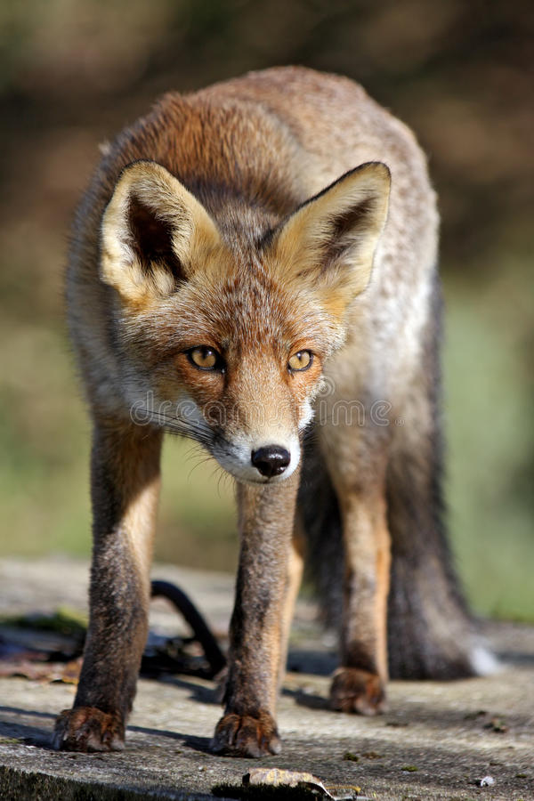 Download Red Fox Royalty Free Stock Images - Image: 25393259