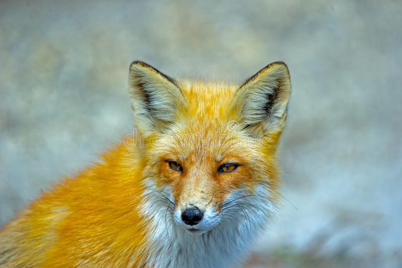 Download Red Fox stock photo. Image of black, portrait, wildlife - 25889962