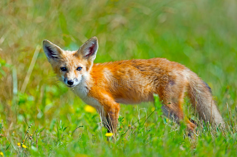 Download Red Fox Stock Image - Image: 26184671