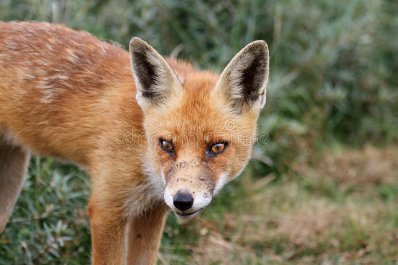 Download Red fox stock photo. Image of close, wild, wildlife, animals - 26506258