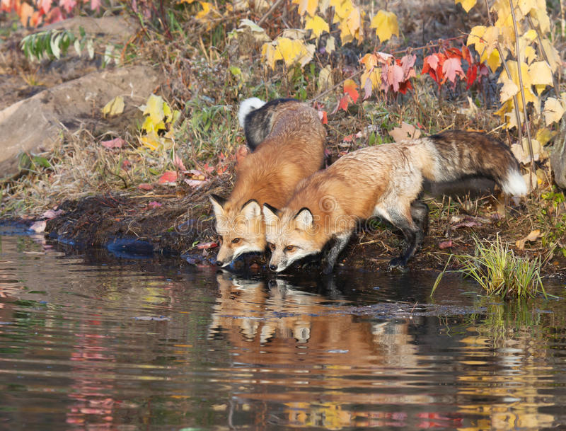 Download Red Fox stock image. Image of nobody, leaves, environment - 27191309