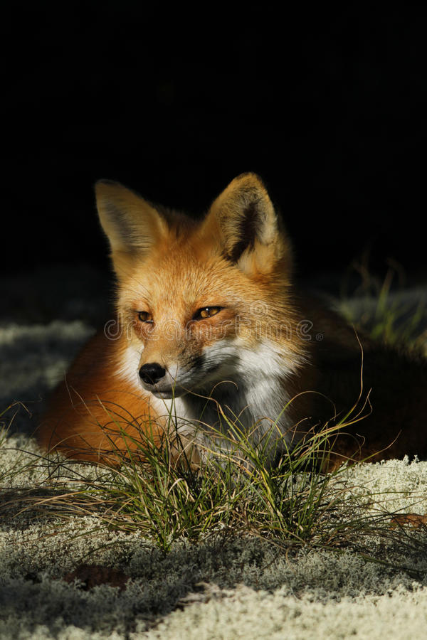 Download Red Fox stock image. Image of moss, whiskers, nature - 27645793