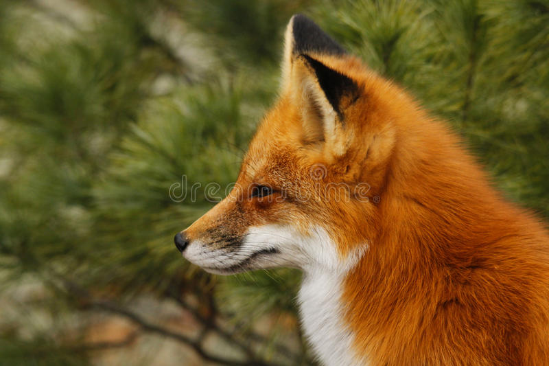Download Red Fox stock photo. Image of sport, carnivore, tree - 27648890