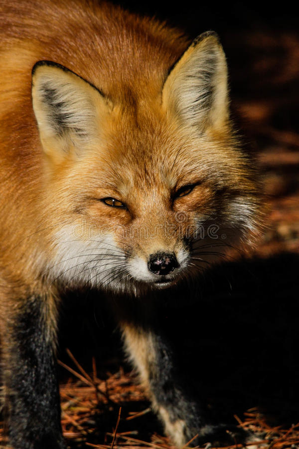 Download Red Fox stock photo. Image of fall, eyes, animal, snout - 27922976