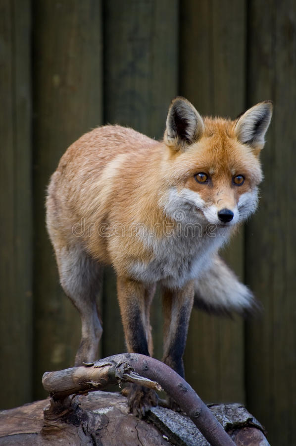 Download Red Fox stock image. Image of close, looking, tail, vertical - 28677707