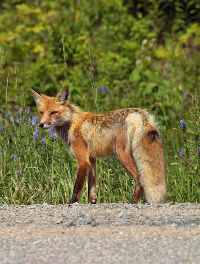 Download Red fox stock image. Image of flower, summer, animals - 28683241