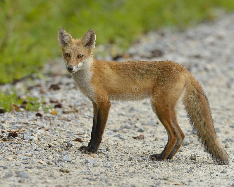Download Red Fox stock photo. Image of looking, delaware, smart - 29556132