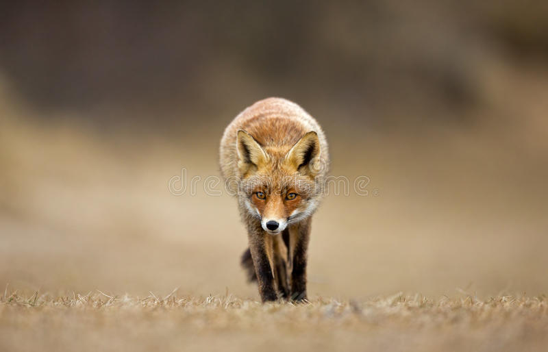 Download Red Fox stock image. Image of wild, snow, shot, creature - 29689167